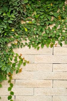 Klimplant plant groeit op een bakstenen muur Premium Foto
