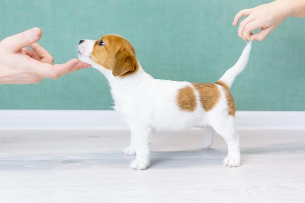 Knappe jack russell terrier pup staat in een rek.