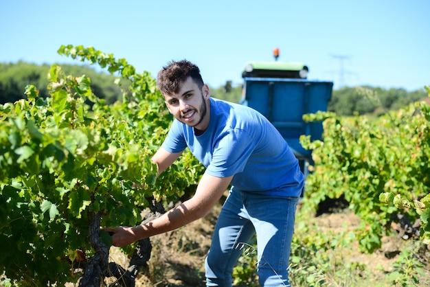 Knappe jongeman druiven plukken tijdens de wijnoogst