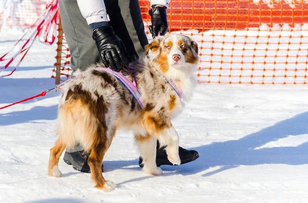Knappe siberische husky-hond met ongebruikelijke bontkleur, openluchtportret