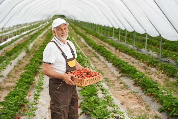 Knappe volwassen man in witte dop en overall die tussen grote aardbeienplantages staat en een mand met verse rijpe bessen vasthoudt. concept van mensen en oogsten.