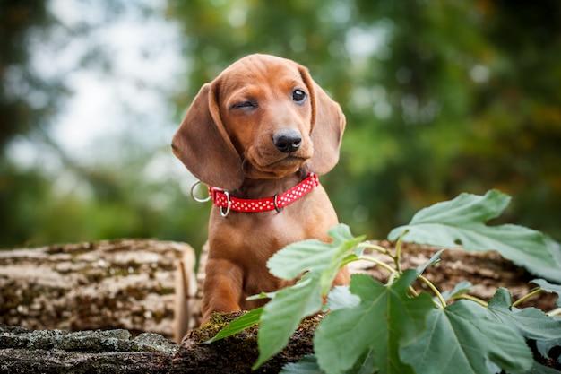 Knipogende rode teckel hond