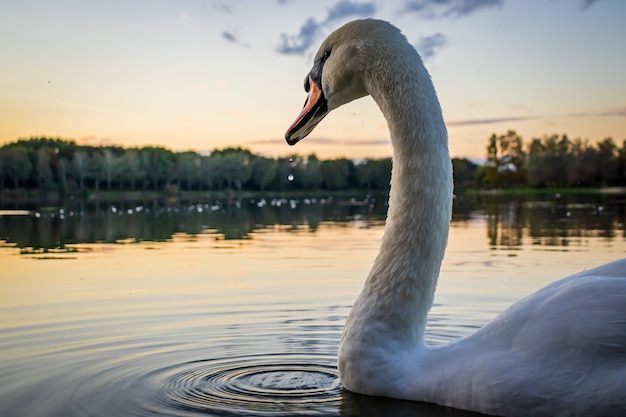 Knobbelzwaan cygnus olor in lake gebart bij zonsondergang in zalaegerszeg hongarije