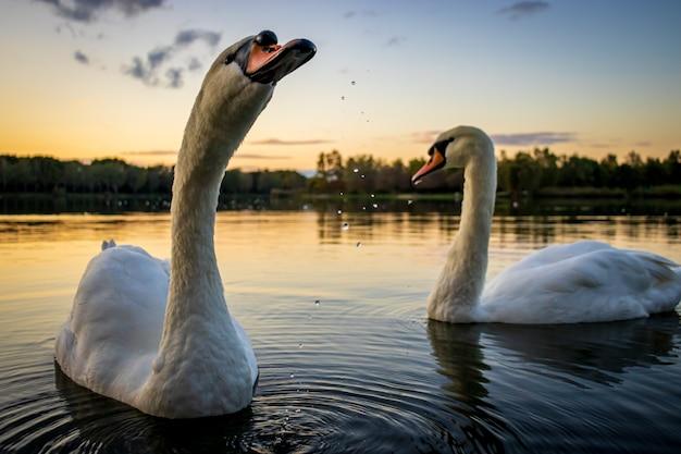 Knobbelzwanen cygnus olor in lake gebart bij zonsondergang in zalaegerszeg hongarije