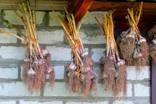 Knoflookbollen worden buiten onder het dak van het huis opgehangen en gedroogd.