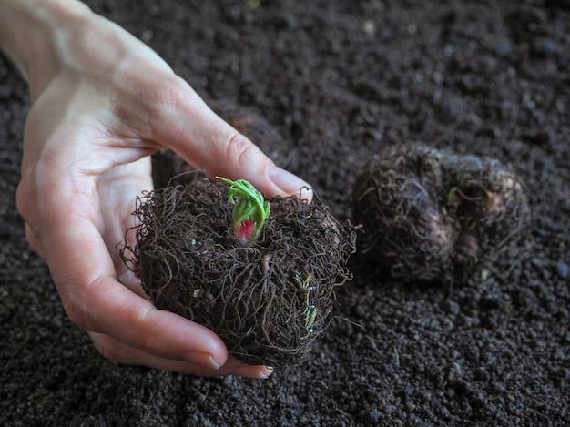 Knollen voordat ze in de grond worden geplant