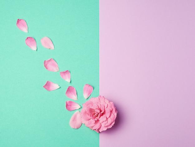 Knop van een roze bloeiende roos en verspreide bloemblaadjes op een groene paarse achtergrond