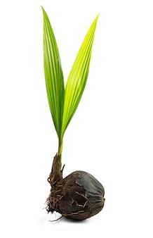 Knop van kokosnoot boom geïsoleerd op wit