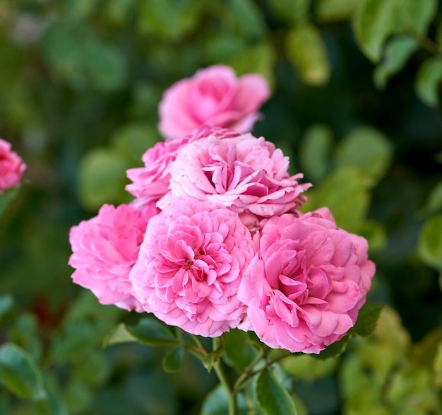 Knoppen van roze bloeiende rozen in de tuin, groene achtergrond