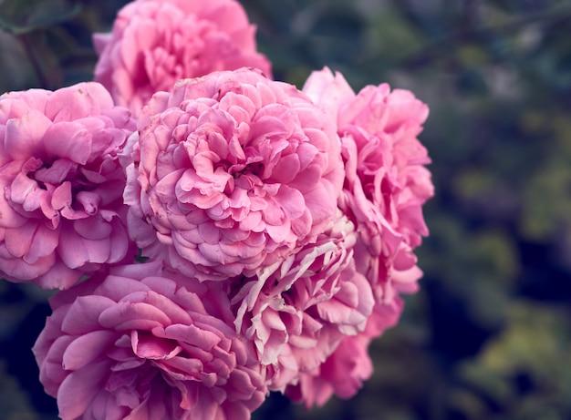 Knoppen van roze bloeiende rozen in de tuin