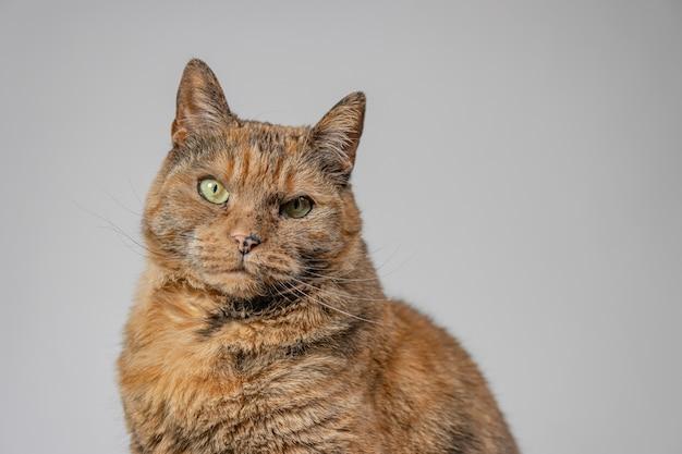 Knorrige kat op zoek naar de camera met een witte achtergrond