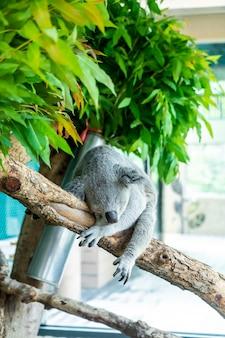 Koala in de dierentuin