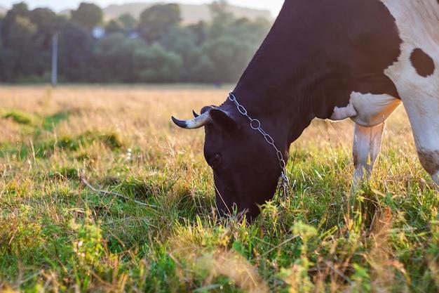 Koe die op groen gebied weiden