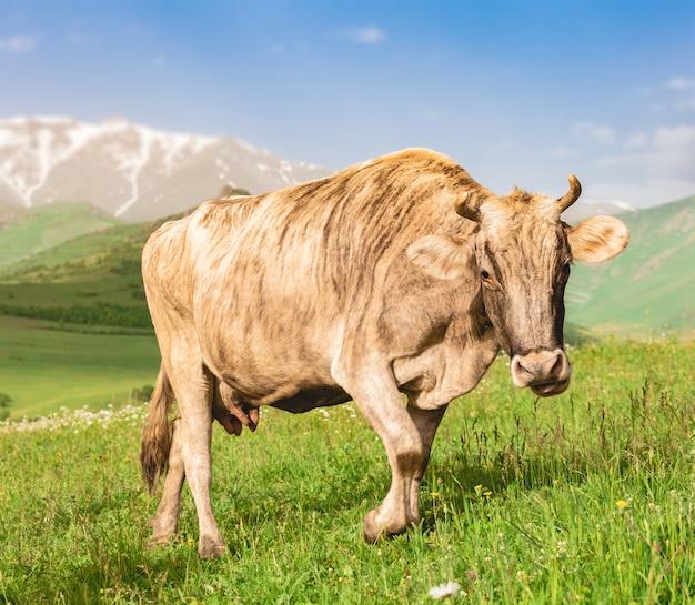 Koe die op groene weide weidt