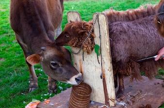 Koe die schapen schouwen die van wol op landbouwbedrijf worden geschoren