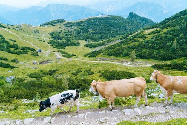 Koe die zich op weg door alpen bevindt.
