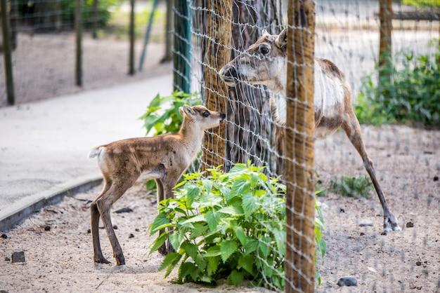 Koe-eland met kalf die achter het hek loopt