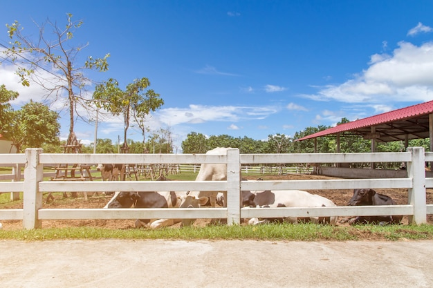 Koe en kalf in het landbouwbedrijf op aardachtergrond