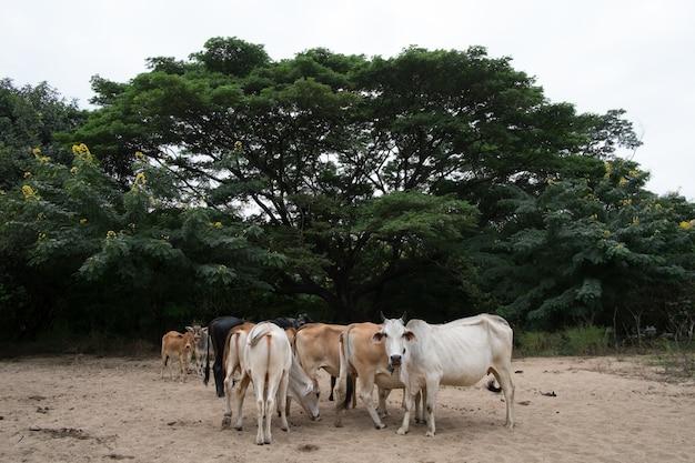 Koe en os in mijn boerderij