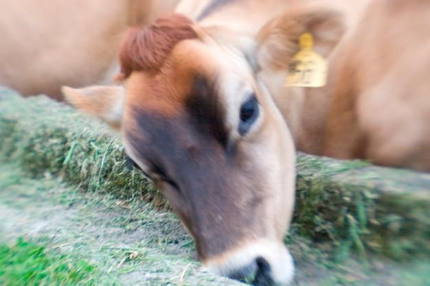 Koe en trog