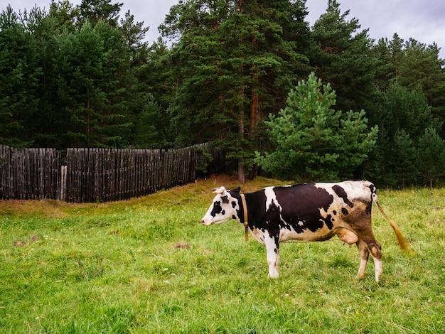 Koe grazen in een open plek. houten hek en dennenbos op de achtergrond