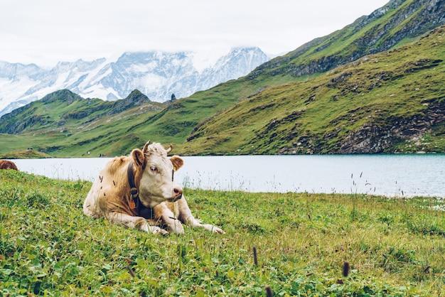 Koe in de berg grindelwald van zwitserland alpen eerst