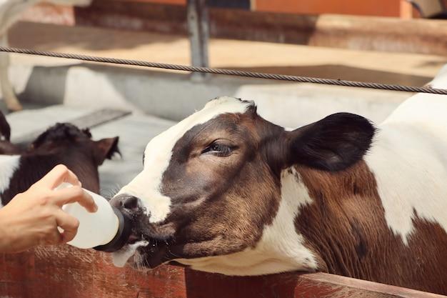 Koe in de boerderij