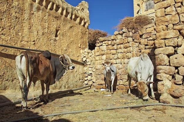 Koe in dorp al-mahwit in bergen, yemen