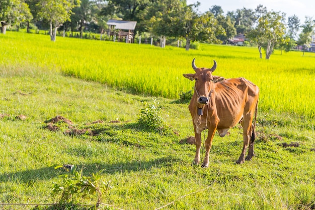 Koe in het rijstlandbouwbedrijf, thailand