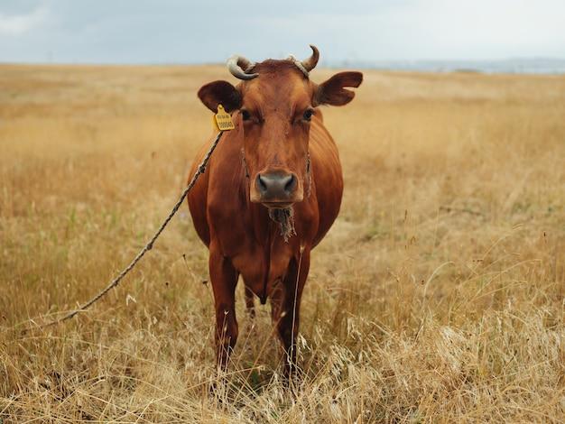 Koe in het veld natuur zoogdier landschap landbouw