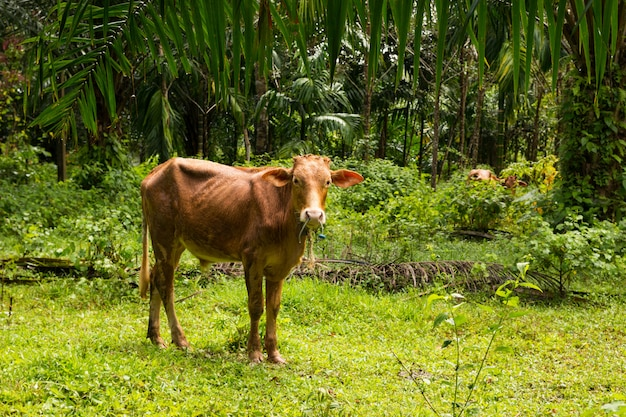 Koe in tropisch bos in phuket