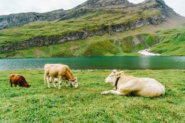 Koe in zwitserland alpen berg grindelwald eerste