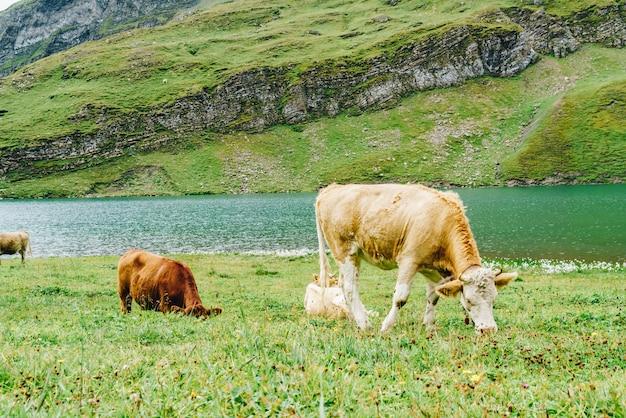 Koe in zwitserland alpen berg grindelwald first