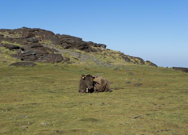 Koe ligt in een weiland en ontspant