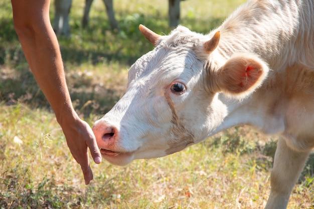 Koe of kalf eten uit menselijke handen in alpiene groene vallei van de zomerweide