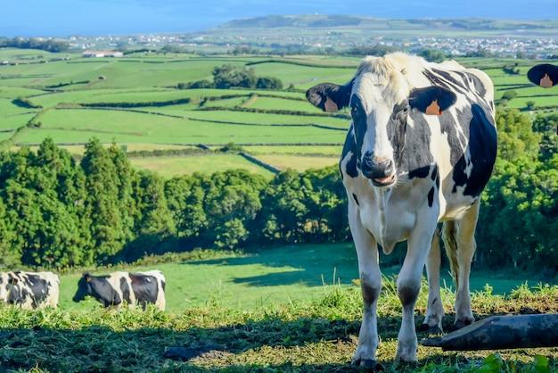 Koe op de boerderij op het platteland, mooie blauwe lucht en groen glas achtergrond