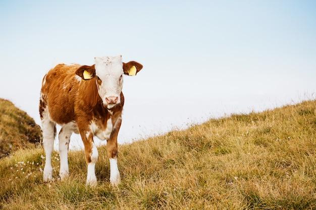 Koe op een zomer grasland