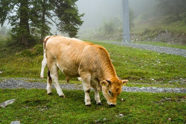 Koe op heuvel