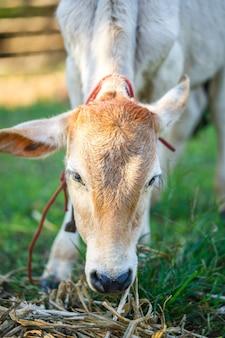 Koe op zomergrasveld