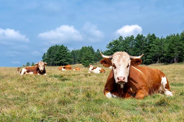 Koe rusten op de met gras bedekte heuvels