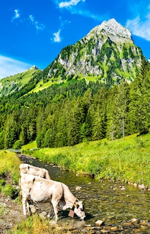Koeien die drinken uit de sulzbach-rivier in oberseetal in de zwitserse alpen