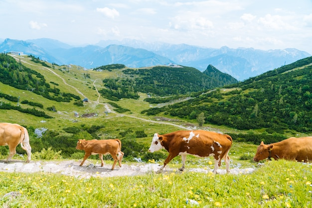 Koeien en kalveren brengen de zomermaanden door op een alpenweide in de alpen