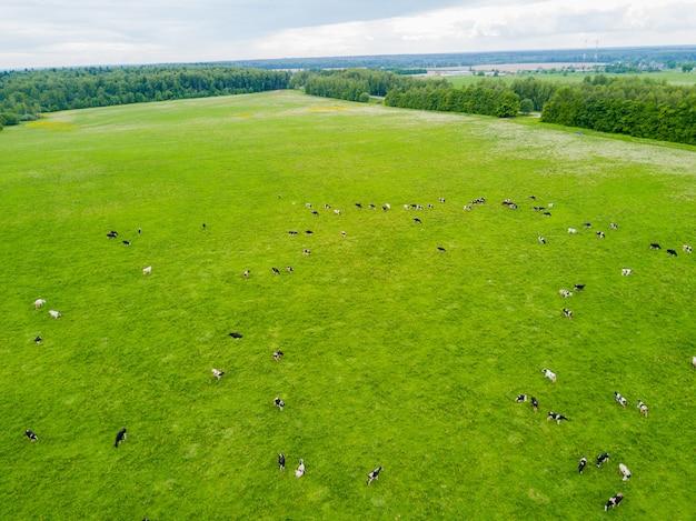 Koeien grazen in een groene weide.