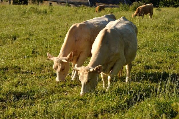 Koeien grazen in een weiland