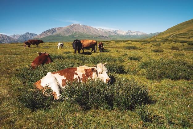 Koeien grazen in grasland in vallei tegen prachtige gigantische bergen in zonnige dag.
