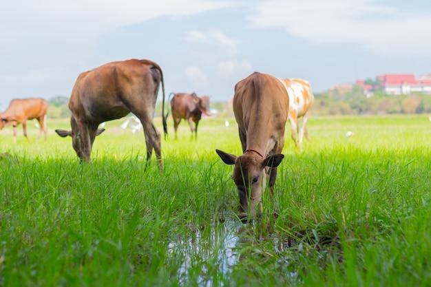 Koeien grazen op boerderij met groen veld in goed weer dag