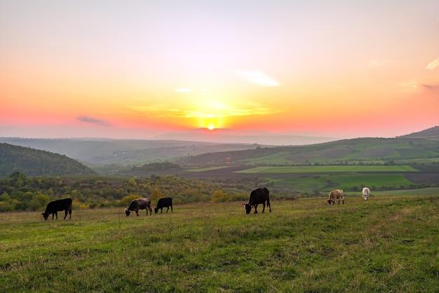 Koeien grazen op een groene weide bij zonsondergang