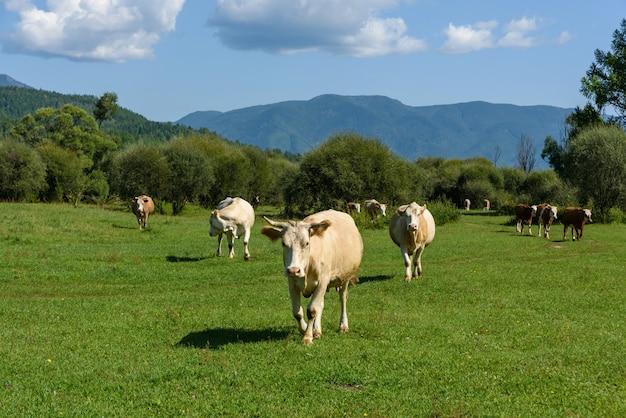 Koeien grazen op een groene zonnige zomer weide