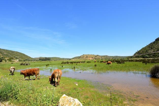 Koeien grazen op het strand van boca del rio, vila do bispo, algarve, portugal