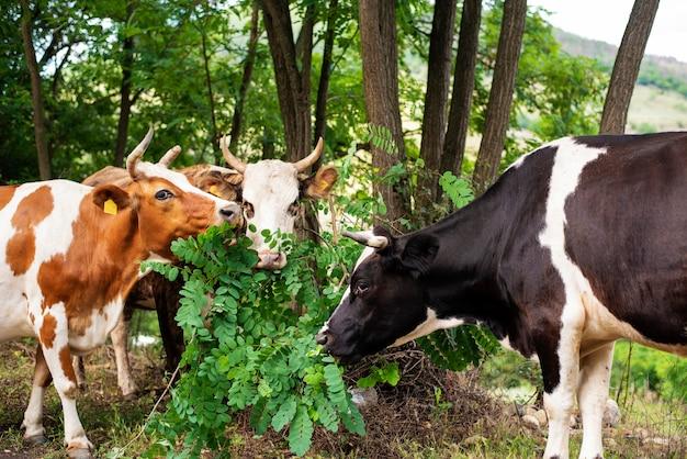Koeien grazen op heuvel in veld, in de buurt van bos